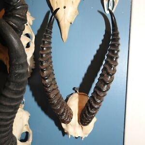 African gazelle skull and horns #1 Taxidermy