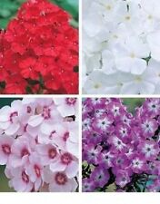 duftendes Sortiment, hohe Flammenblumen in 4 Farben, Phlox rot rosa weiß lila