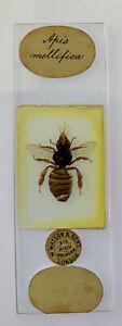 Watson Antique Microscope Slide. Apis Mellifica Bee