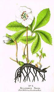 "Good's The Family Flora - ""BLACK HELLEBORE CHRISTMAS ROSE"" - Steel Eng. - 1854"