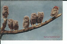 Ay-306 Young Screech Owls New York Zoological Prk 1907-1915 Golden Age Postcard