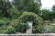 Flowering cactus tree (Opuntia) Centerpiece, fence, protection of window, 2 pads