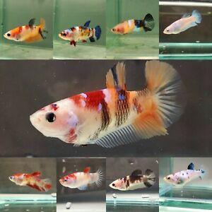 Live Betta Fish - Female Sorority HMPK Galaxy Koi - USA Breed