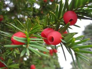 10 x English Yew tree seeds (taxus baccata) tree seeds.