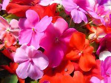 Summer Deciduous H1a 15 °C) Plants, Seeds & Bulbs
