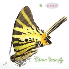 5 unmounted butterfly Pathysa antiphates GUANGXI SPRING FORM A1 A1-
