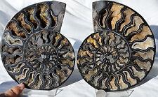 "RARE 1 in 100 BLACK Ammonite Cut PAIR Deep Crystals XXLARGE 6.4"" 162mm n1858"
