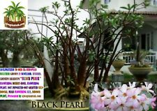 """ACCLIMATIZED ADENIUM ARABICUM """"BLACK PEARL ARABICUM"""" SPECIE SELF BONSAI PLANT"""