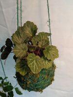 Strawberry Begonia Plant Kokedama Floating Bonsai * String Garden *