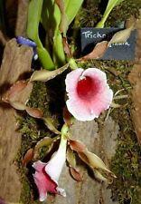 Trichopilia marginata species Orchid Plant