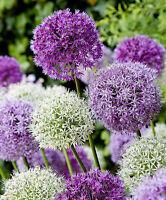 RIESEN LAUCH (Allium giganteum) MIX - violett und weiss - 2 x 30 Samen / Pack