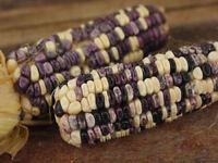 Cherokee White Eagle Corn heirloom, 25+ seeds