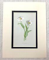 1913 Antico Botanico Stampa Snowy Ranuncolo Fiore Inglese Paese Giardino Piante