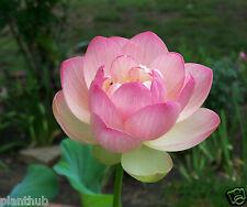 ASIAN LOTUS SEEDS - Pink Flower  - Kamal - Nelumbo nucifera - Pack of 5 Seeds.