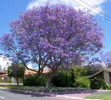 Jacaranda tree seeds 10 for $1.50 Great shade tree has beautiful purple flowers