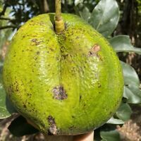GRAFTED AVOCADO (Marcos Pumpkin) LARGE SIZE TREE
