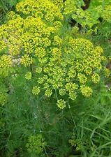 Dill Seeds 500+ Herbs garden Plants Culinary Pickling Butterflies Free Shipping