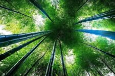 200g Moso Bamboo Hardy Rare Seeds -4 Giant Plant Pubescens Phyllostachys edulis