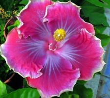 * Beautiful Desire * Rooted Tropical Hibiscus Plant*Ships In Pot*