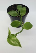 Vanilla Planifola Orchid - Healthy and Growing!�