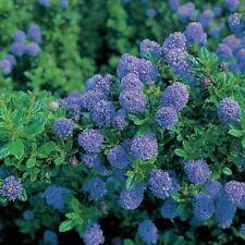 Ceanothus blue mound pot 2 litres lila de californie