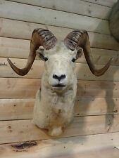 Shoulder Mount Alaskan Dahl Sheep Real Horn Bighorn Stone Goat Taxidermy DS3