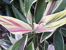 Cordyline Pink & White - Colourful Subtropical Foliage Plant - 140mm