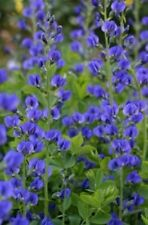 Blue False Indigo Hardy mini shrub! Fresh viable seeds! Long lasting flowers!