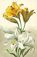 Two Sorts of Lillies A1 by Willem van Leen High Quality Canvas Art Print