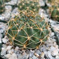 Lobivia oxyalabastra Cactus Cacti Succulent Real Live Plant