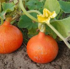 Potimarron - graines x10 pour potager ou jardin (🌿 culture BIO) seeds seed