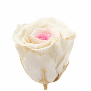 6er-Pack Infinity-Bloom Rosenköpfe XL - white pink - Kopf-Ø ca. 6,5 cm