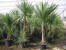 20 Graines de Palmier de Nouvelle-Zélande / Palmier Rustique