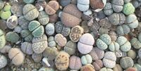 100pc Mixed Lithops Seedlings Lovely Living Stones Plants (0,8-1cm)