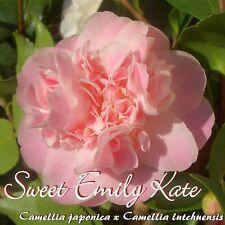 """Kamelie """"Sweet Emily Kate"""" - Camellia japonica x Camellia lutchuensis - 3-jährig"""
