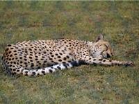 Cheetah Black White Shadow Close Up Cute Cat Poster Print Paper OR Wall Vinyl