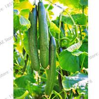 100 PCS Seeds Long Cucumber Bonsai Chinese Vegetable Plants Plantation Garden V