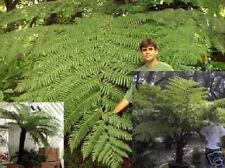 Schwarzer Baumfarn - Schnellstwüchsiger Baumfarn der Welt - Zimmerpflanze Samen