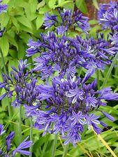 3 New Agapanthus Stardust  garden perennial plant