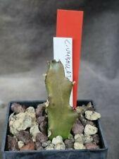 Caralluma umbellata 221-1 Huernia Stapelia Pseudolithos Echidnopsis
