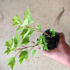 1x Redcurrant Redstart Plants 9cm pot British Grown and delivered free!