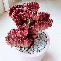 Succulent Cactus Live Plant -Euphorbia Neriifolia Var.cristata 10cm - Rare Plant