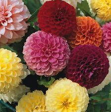 Dahlia - Pompone Double Mixed - 50 Seeds