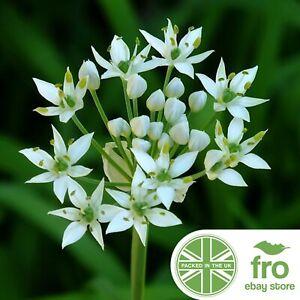 Flower - Wild Garlic - 200 Seeds - Allium Ursinum - FREE DELIVERY!