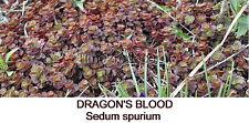 15+ Cuttings Dragon'S Blood Sedum spurium Perennial groundcover stonecrop Red