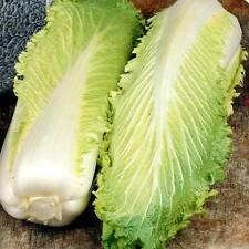 1000 Seeds of CABBAGE CHINESE PE-TSAI Michihili/Chihili