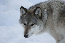 Wolf - Volume 2 Taxidermy Reference Photo Cd