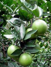 Green Orange Fruit Seeds Citrus Sinensis Sweet orange for drinking new 10 seeds.