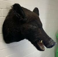 Taxidermy Wild Boar Mount Wall Hanging Shoulder (missing tusk)