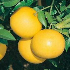 10 SEMI DI Pompelmo Giallo- Citrus paradisi-Marsh